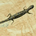 Genomes and Daily Observations (Spotted Salamander)