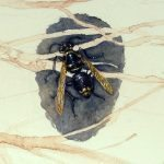 Genomes and Daily Observations (Bald-faced Hornet)