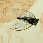 Genomes and Daily Observations (Cicadas)