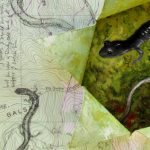 Salamander Notes (Northern gray cheeked)