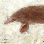 Bestiary Series (Hairy-tail Mole)